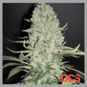 White Widow x Big Bud Feminised | Female Seeds