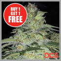 White Widow x Big Bud Feminised Cannabis Seeds | DCS