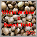 White Widow x Sweet Tooth Feminised Cannabis Seeds | 50 Seed Bulk Pack