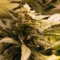 AK48 Regular Cannabis Seeds | Nirvana