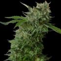 Amnesia VIP Feminised Cannabis Seeds | VIP Seeds
