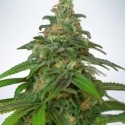 Auto Mandarin Haze Feminised Cannabis Seeds | Ministry of Cannabis