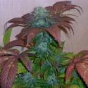 Breakout Regular Cannabis Seeds   Hazeman Seeds