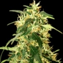 Silverstar Haze Feminised Cannabis Seeds | Bulldog Seeds