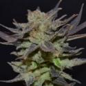 Auto Lavender Feminised Cannabis Seeds   CBD Seeds Auto Flowering Line