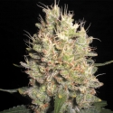 Crazy Miss Hyde Feminised Cannabis Seeds | Samsara Seeds