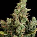 Cheese Feminised Cannabis Seeds   Dinafem Seeds