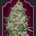 Bubble Gum Fast Feminised Cannabis Seeds | OO Seeds