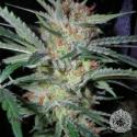 Headband x Pre 88 G13 x Caramel Regular Cannabis Seeds | Apothecary Genetics Seeds