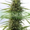Kilimanjaro Feminised Cannabis Seeds | World of Seeds