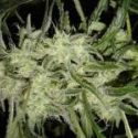 Lemon OG Haze Auto Feminised Cannabis Seeds | Nirvana