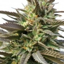 Blue Blood Feminised Cannabis Seeds