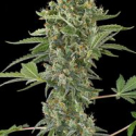 Moby Dick Automatic Feminised Cannabis Seeds | Dinafem Seeds