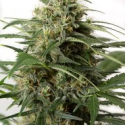 Moby Dick XXL Auto Feminised Cannabis Seeds | Dinafem Seeds