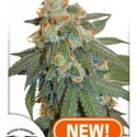 Auto Orange Bud Feminised Cannabis Seeds | Dutch Passion