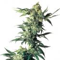 Northern Lights Feminised Cannabis Seeds | Sensi Seeds