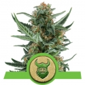 Royal Dwarf Auto Feminised Cannabis Seeds | Royal Queen Seeds