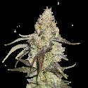 Runtz Feminised Cannabis Seeds   Seed Stockers