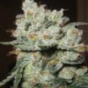 Santa Cruz Kush Feminised Cannabis Seeds | Sagarmartha Seeds