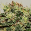 CBD Critical Mass Feminised Cannabis Seeds | Seedsman