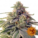 Shiskaberry Feminised Cannabis Seeds | Barney's Farm