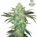 Fast Buds Stardawg Feminised Cannabis Seeds | Discount Cannabis Seeds