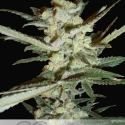 Supersonic Crystal Storm Auto Feminised Cannabis Seeds