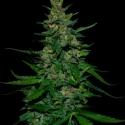 Timanfaya Auto Feminised Cannabis Seeds