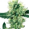 White Haze Regular Cannabis Seeds | White Label Seed Company