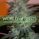 Yumbolt 47 Feminised Cannabis Seeds | World of Seeds