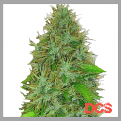 2 Fast 2 Vast Auto Feminised | Heavyweight Seeds