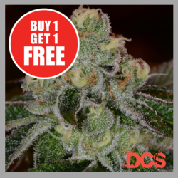 Auto Girl Scout Cookies Cannabis Seeds | Discount Cannabis Seeds