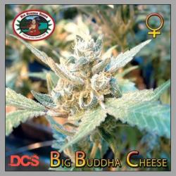 Cheese (x Cheese)   Big Buddha Seeds