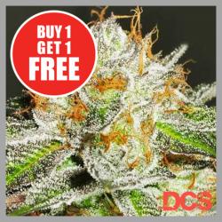 Bruce Banner Feminised Cannabis Seeds | Discount Cannabis Seeds