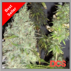 Incredible Bulk Feminised Cannabis Seeds   Dr Krippling