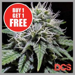 Gorilla Zkittlez Feminised Cannabis Seeds | Discount Cannabis Seeds