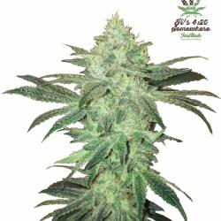 Stardawg Auto Feminised Cannabis Seeds | Fast Buds