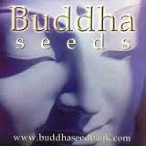 Buddha Cannabis Seeds | Discount Cannabis Seeds