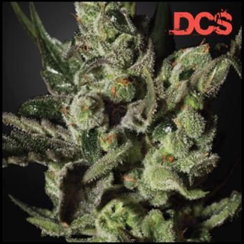 Cheese Feminised Cannabis Seeds | Discount Cannabis Seeds
