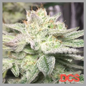 Gorilla Glue #4 Feminised | Discount Cannabis Seeds