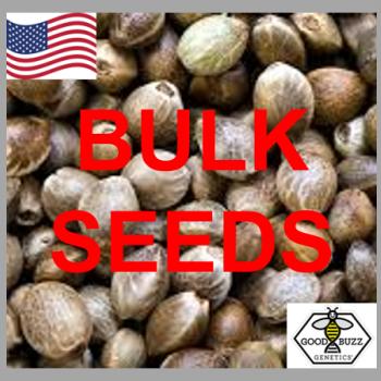 Stardawg Feminized Cannabis Seeds | Good Buzz Genetics