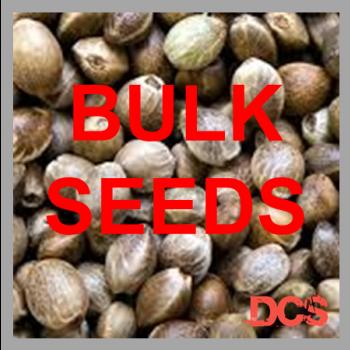 Critical Mass Feminised Cannabis Seeds  | 100 Bulk Seeds