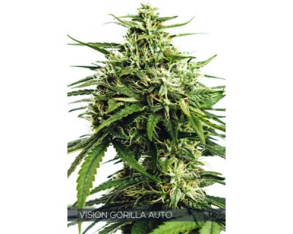 Vision Gorilla  Auto Feminised Cannabis Seeds | Vision Seeds