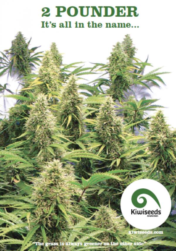 2 Pounder Feminised Cannabis Seeds | Kiwi Seeds