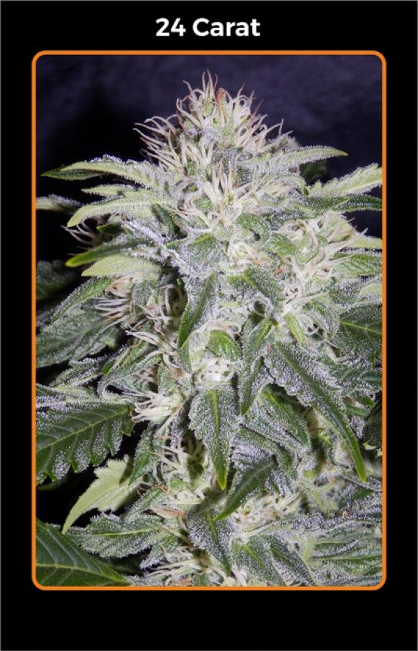 24 Carat Auto Feminised Cannabis Seeds   Mephisto Genetics