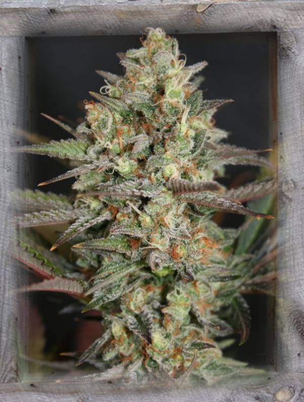 Kush Mass Feminised Cannabis Seeds | Garden of Green