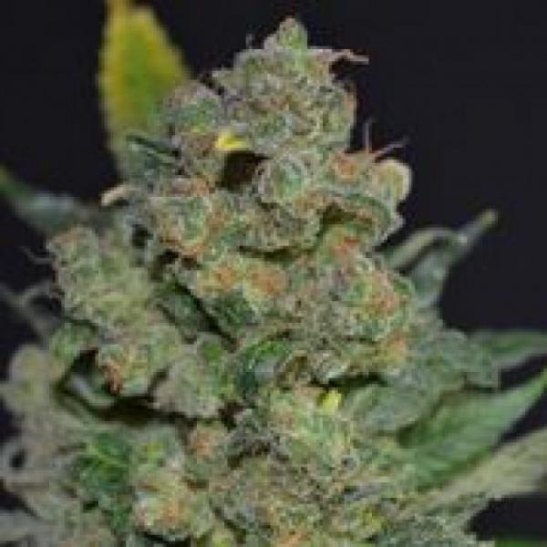 710 Stilton Feminised Cannabis Seeds (AKA Cheese) | 710 Genetics Seeds