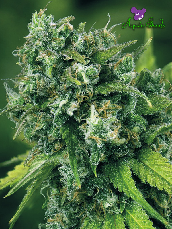 A-Train Feminised Cannabis Seeds - Anesia Seeds