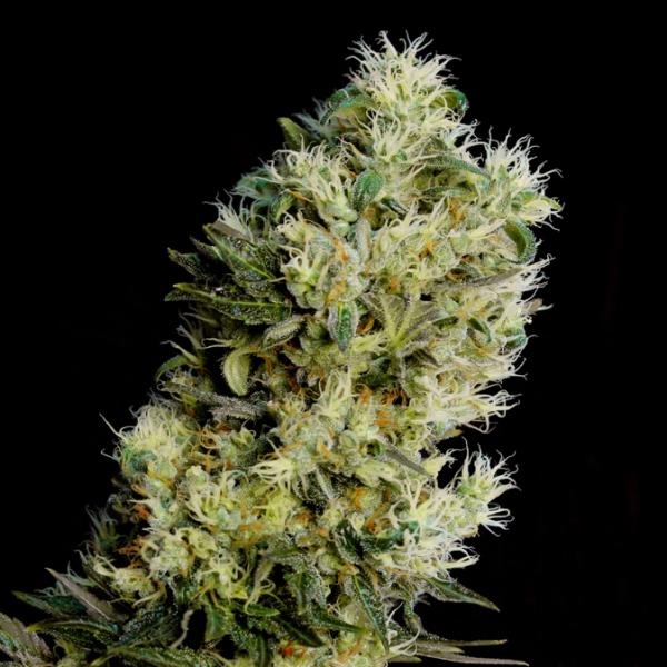 Amnesia Bilbo Auto Feminised Cannabis Seeds