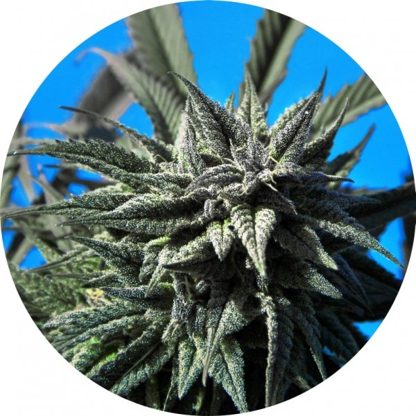 Auto Tao Blueberry Regular Cannabis Seeds